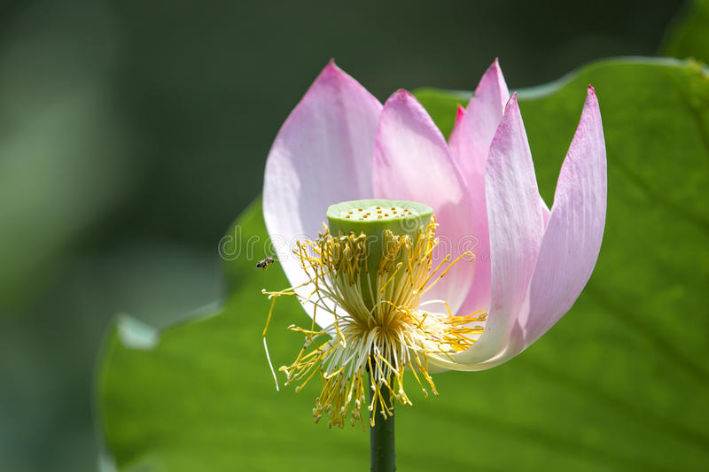 Lotus flower, blossom ,seed and bee stock image