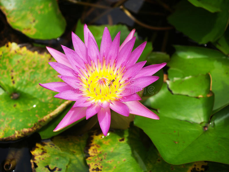 Download Lotus flower and bee stock photo. Image of water, single - 32142056