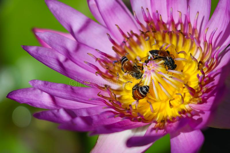 Lotus Flower and Bees royalty free stock image