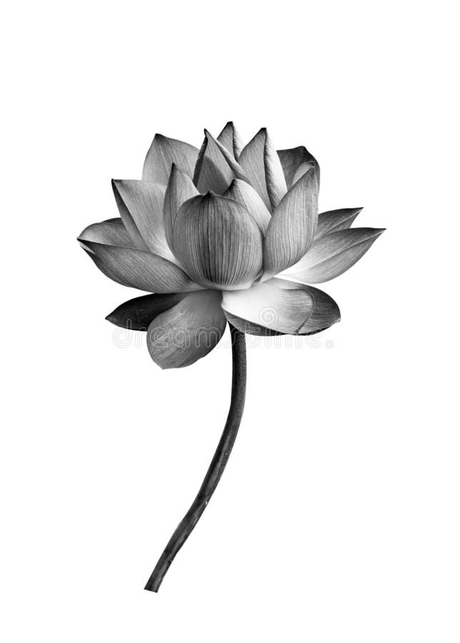 Lotus flower black and white isolated on white background stock photo