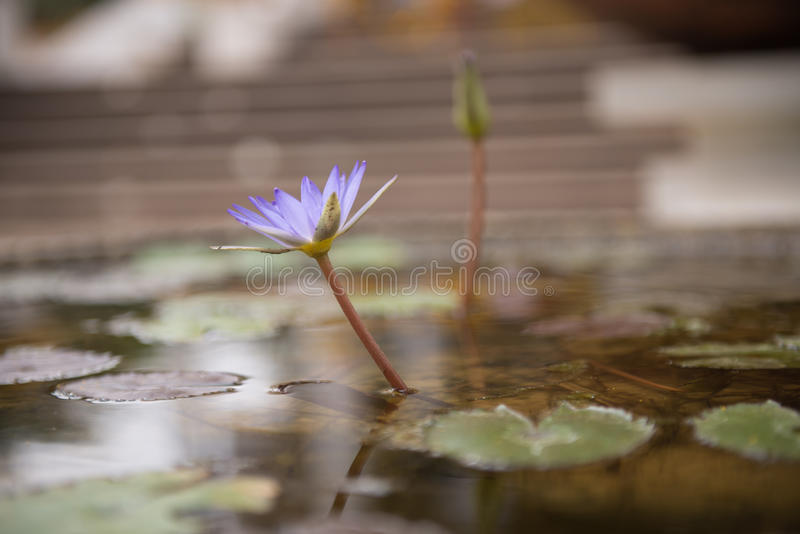 The lotus flower bloom stock photography