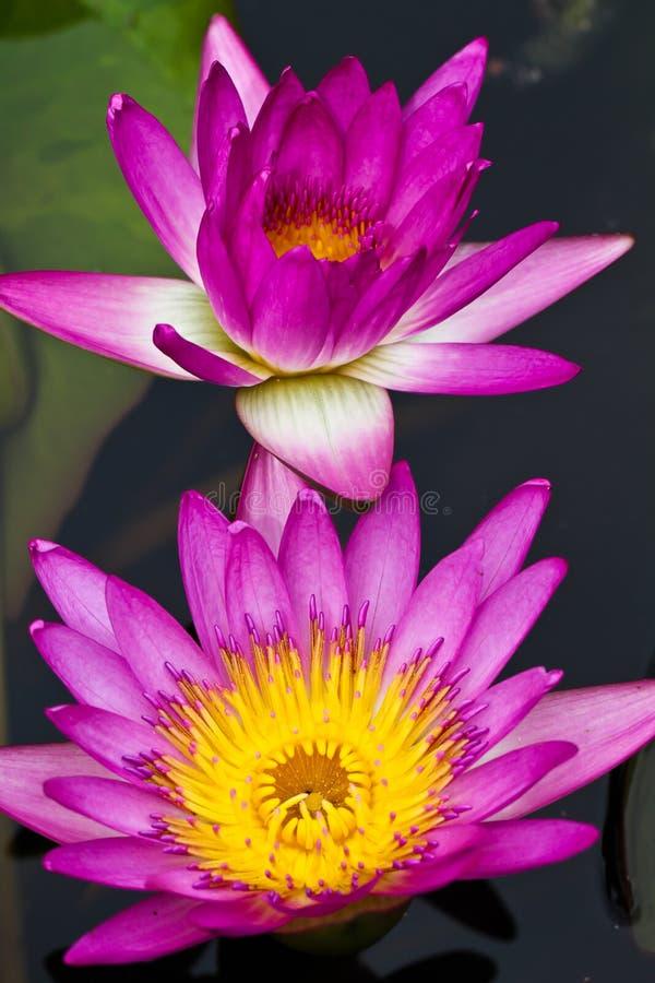Free Lotus Flower Blooming Royalty Free Stock Images - 21432239