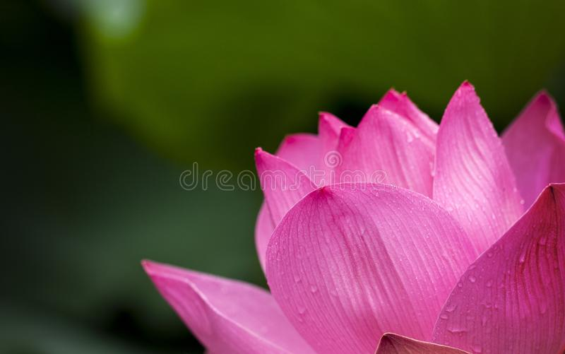 Lotus Flower Blooming during Daytime royalty free stock photography