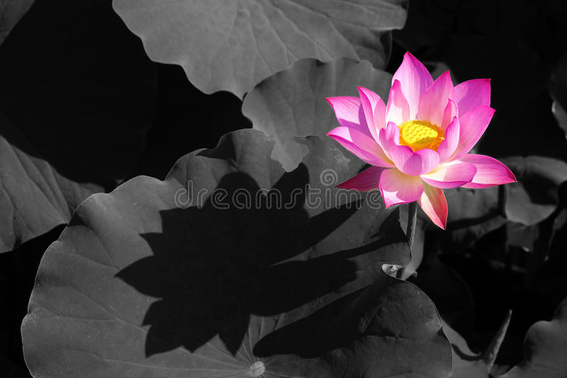 Lotus flower. The lotus flower is blooming in lotus pond stock image