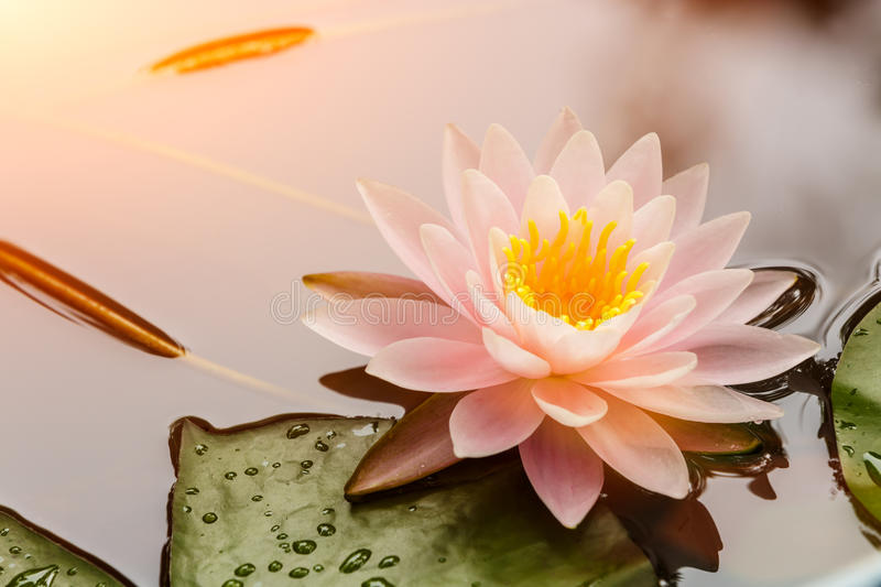 lotus flower blooming in the pond stock photo