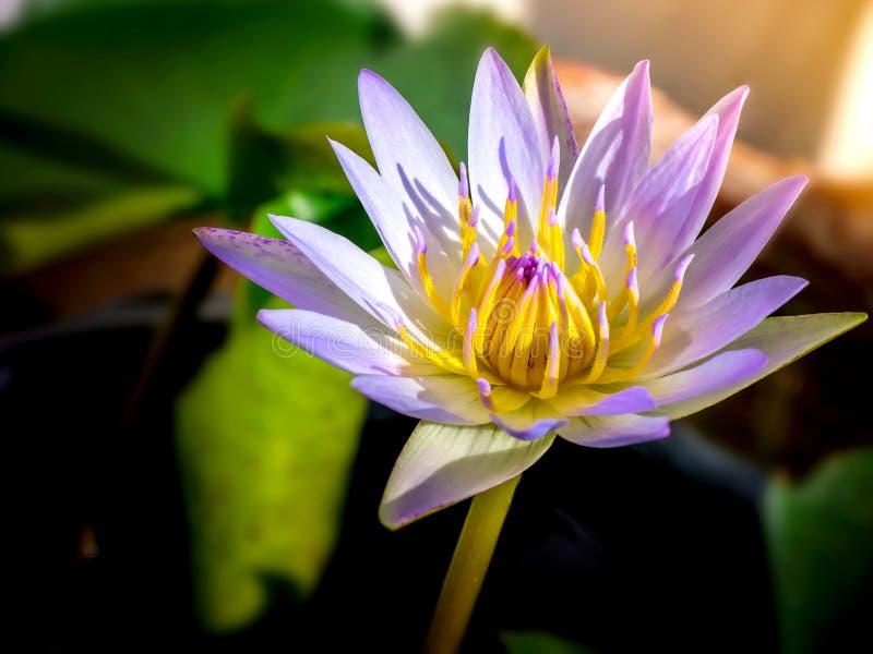 Lotus flower blooming in wate 01. Lotus flower blooming in water, Lotus blooming at noon time, Beauty lotus flower Blooming royalty free stock image