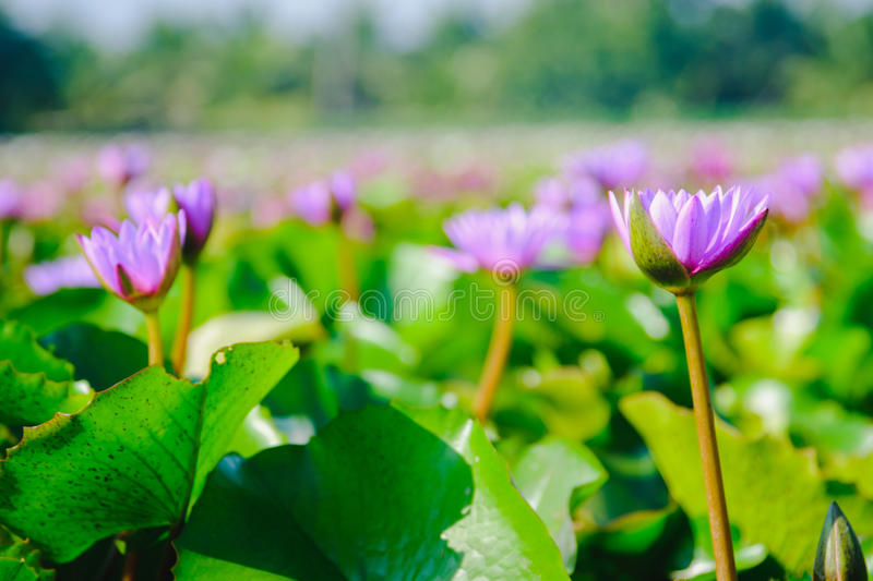 Lotus flower blooming on the water in garden,Thailand. This beautiful purple water lily or lotus flower blooming on the water in garden,Thailand. Selective and stock images