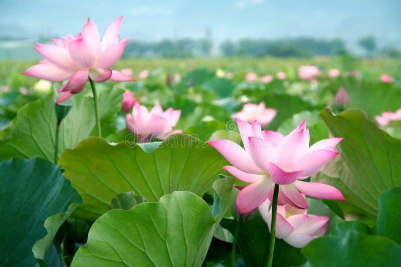 Download Lotus flower blossom stock image. Image of lotus, aquatic - 14860941