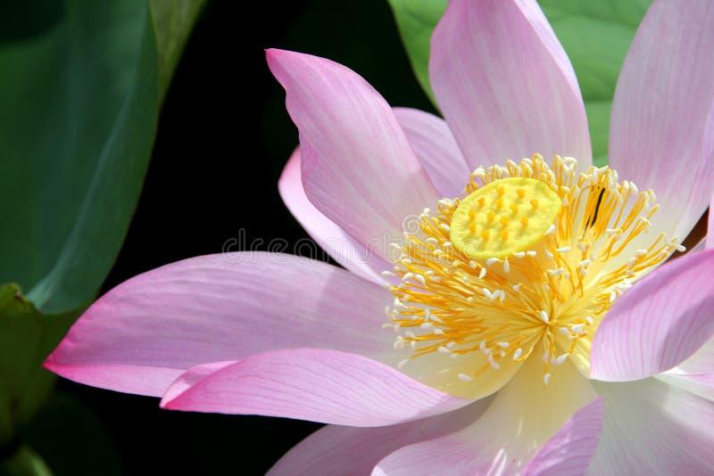 Download Lotus flower blossom stock image. Image of blossom, flora - 14860969