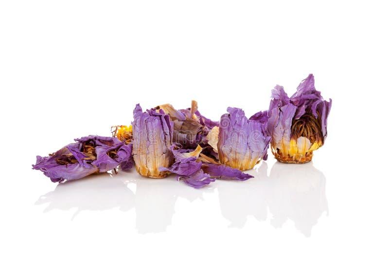 Lotus Flower blu secca fotografia stock libera da diritti