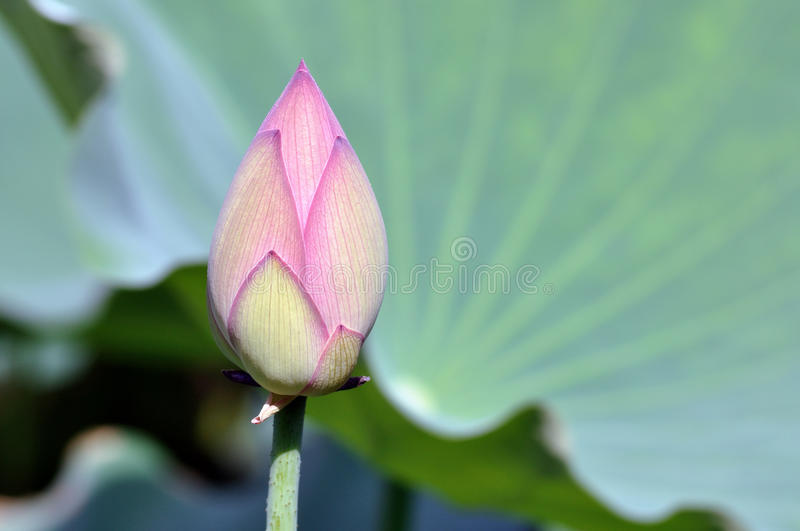 Lotus flower bud. The shot of lotus flower bud and the blossom stock photo