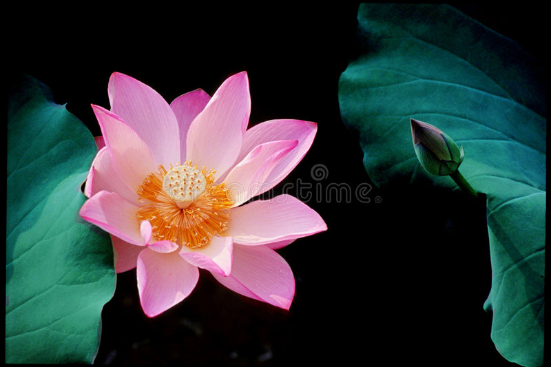Lotus flower and a bud stock photo image of peace flower 4926384 download lotus flower and a bud stock photo image of peace flower 4926384 mightylinksfo