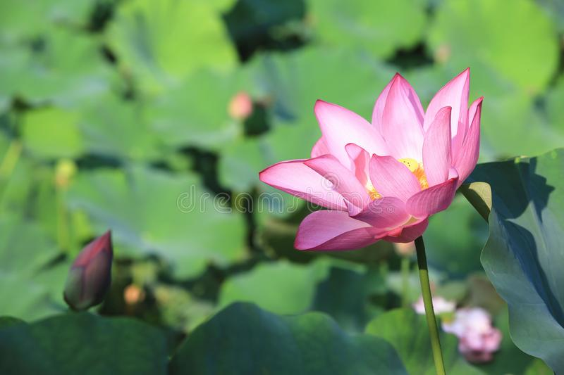 Lotus flower and bud blooming in the pond stock photo image of download lotus flower and bud blooming in the pond stock photo image of fragrance mightylinksfo