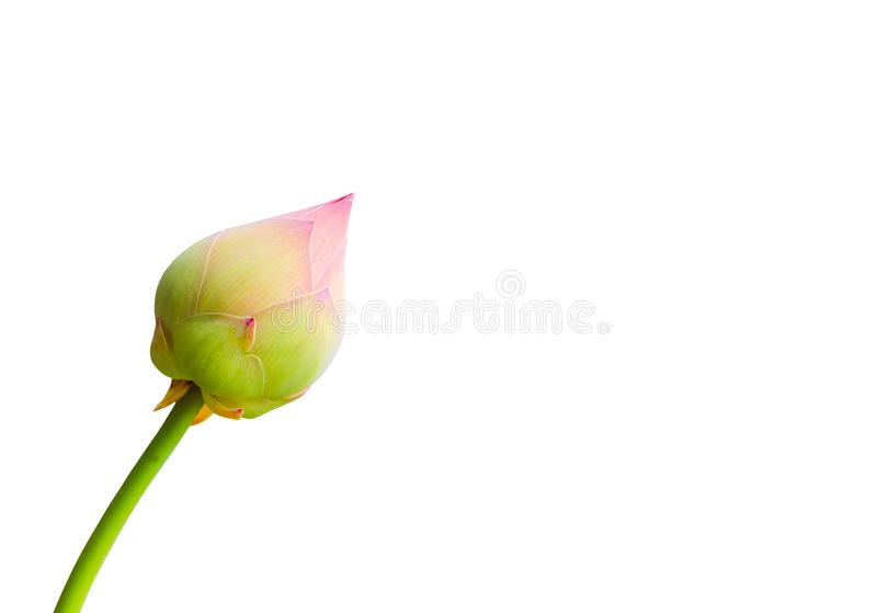 Lotus flower bud pink - green beautiful isolated on white background and clipping path.  royalty free stock image