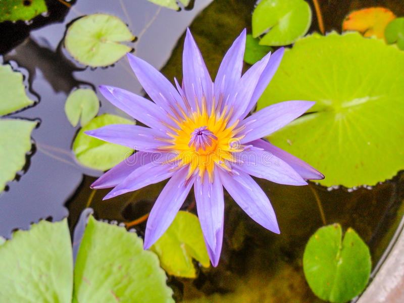 Lotus flower for buddhism stock image image of closeup 85553817 download lotus flower for buddhism stock image image of closeup 85553817 mightylinksfo