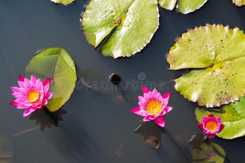Lotus flower in buddhism stock photo image of botanical 36355682 download lotus flower in buddhism stock photo image of botanical 36355682 mightylinksfo