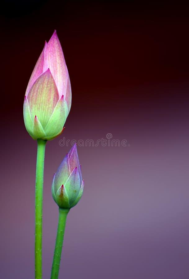 Lotus flower buds stock photos