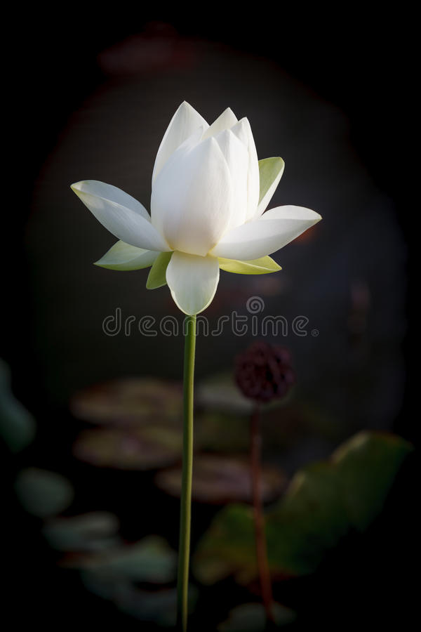Lotus Flower Carroll Creek Frederick blanche le Maryland photo stock
