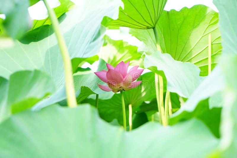 A lotus flower circled by leaves on the water. A lotus flower circled by leaves.The flower is quiet growing up.JUst like a baby smile face.It is very purity stock photography