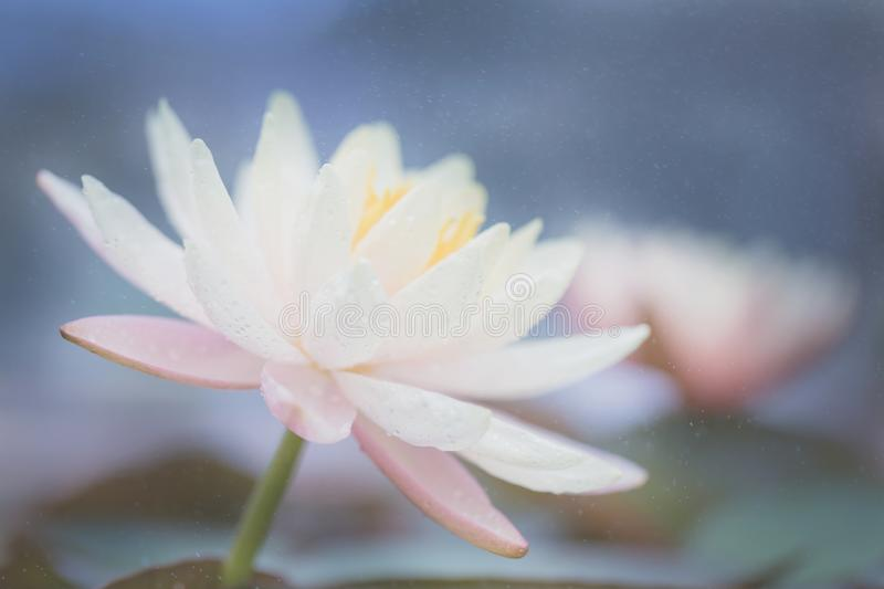 Lotus flower in close up. View stock photography