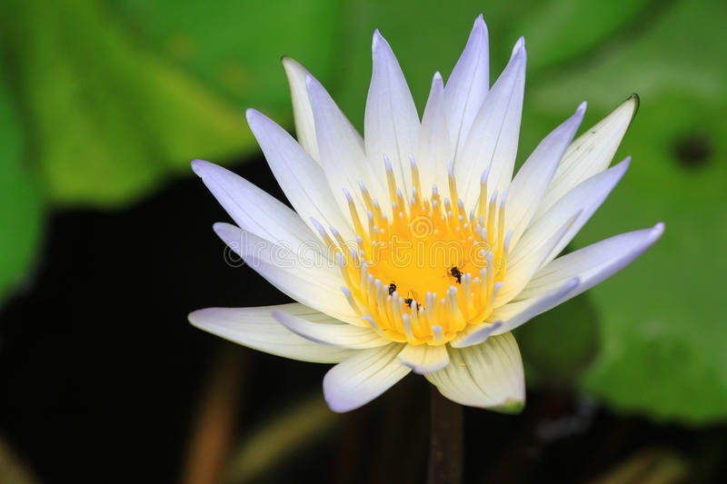 Lotus flower close up view. Close up view of lotus flower stock images