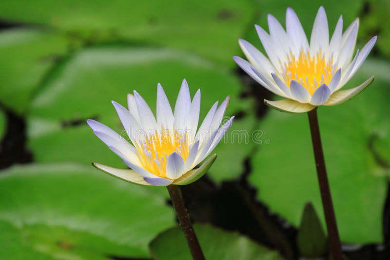 Lotus flower close up view. Close up view of lotus flower royalty free stock photography