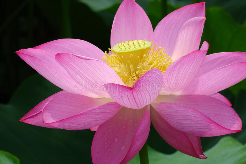 Lotus flower. Closeup of a pink lotus flower royalty free stock photography