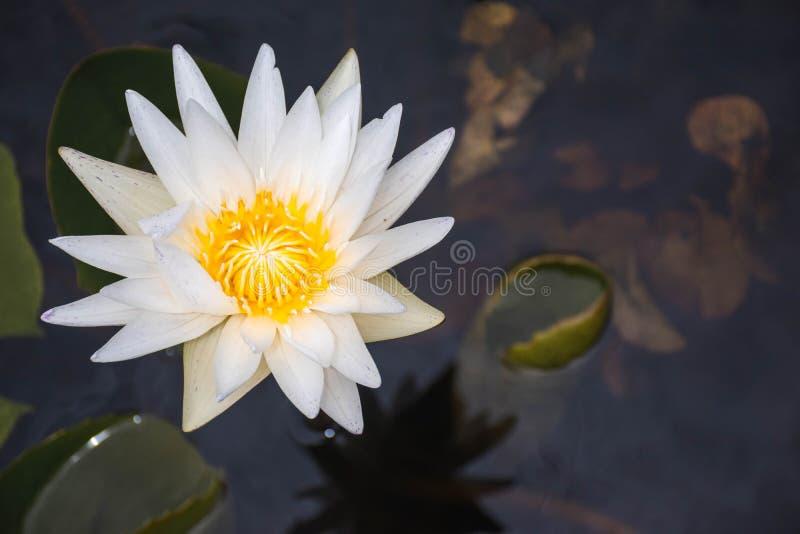 Lotus Flower color?e images libres de droits