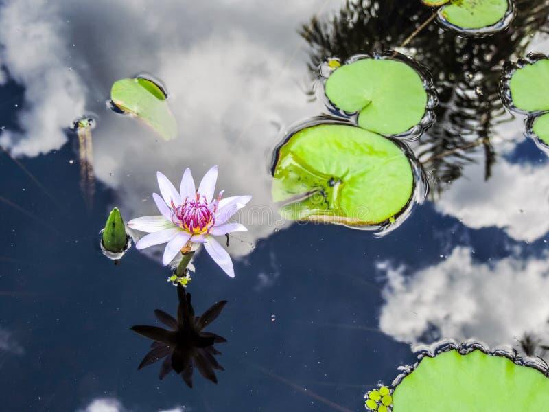 Lotus Flower con reflexiones imágenes de archivo libres de regalías