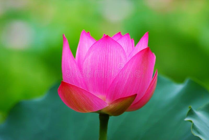 Lotus Flower cor-de-rosa foto de stock royalty free
