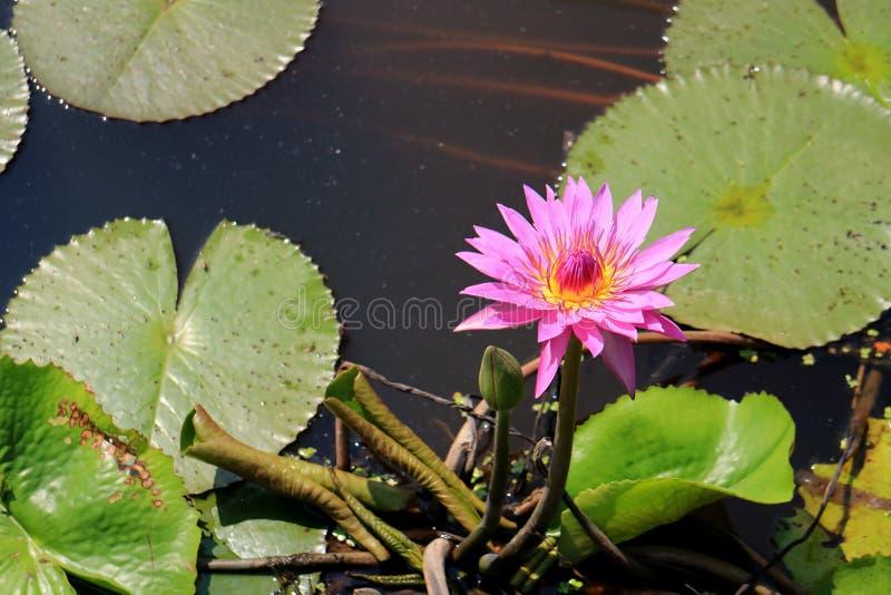 Lotus Flower de floraison rose vibrante avec un bourgeon floral vert à la lumière du soleil de matin photos stock