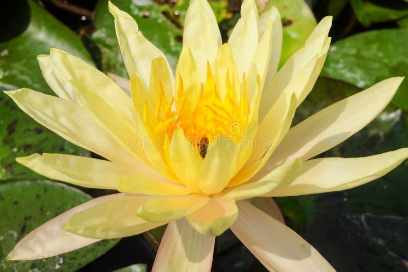 Lotus Flower e Honey Bee amarelos frescos fotografia de stock