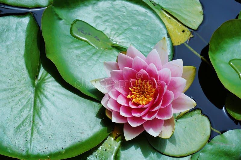 Lotus Flower e Lily Pads cor-de-rosa na lagoa imagem de stock royalty free