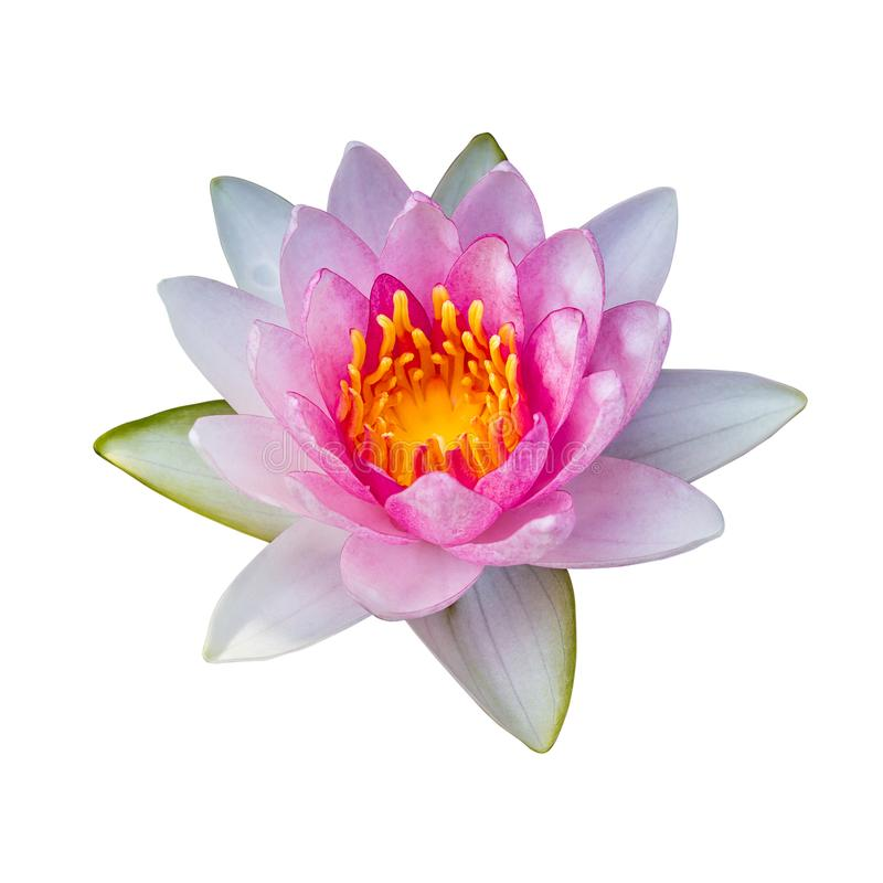 lotus flower Ellisiana or Tubtim Siam Water Lily blooming isolated on white background stock photos