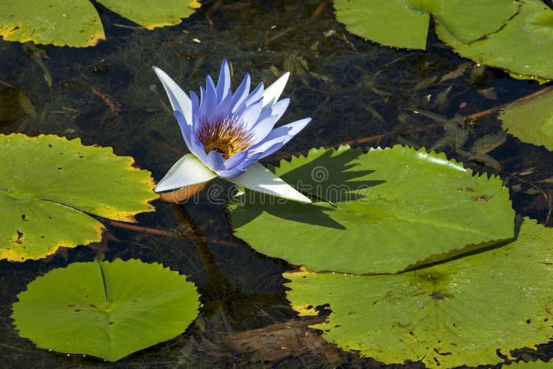 Lotus Flower et Lilly Pads bleues sur l'étang photographie stock
