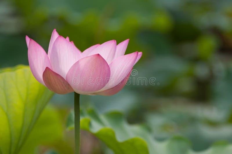 Lotus flower. The lotus flower in full bloom royalty free stock photo