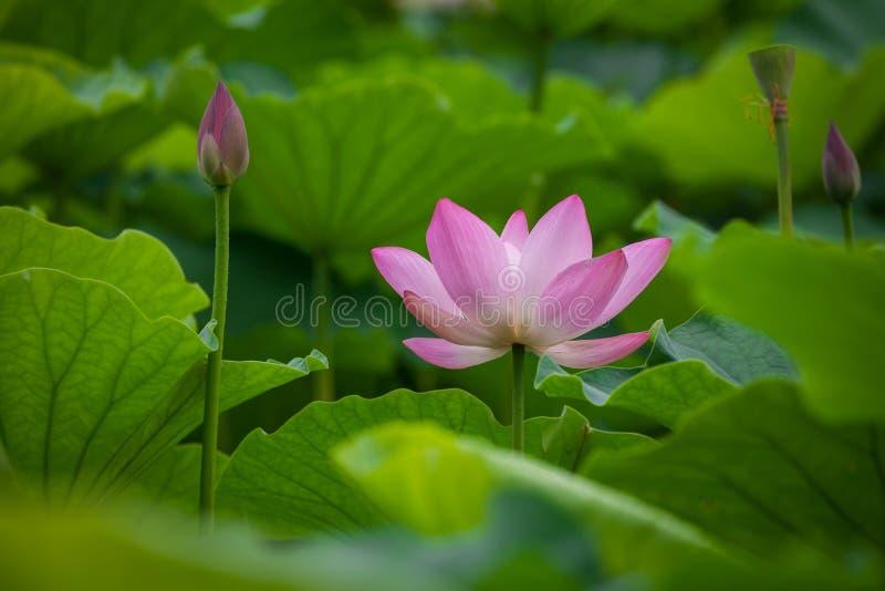 Lotus flower. In garden,summer stock images