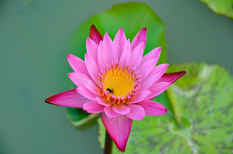 The lotus flower is hit by the bees coming to the pollen of the flower. stock photography
