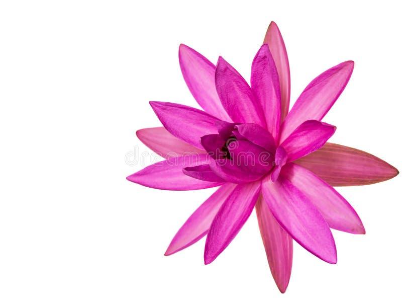 Lotus Flower I photo stock