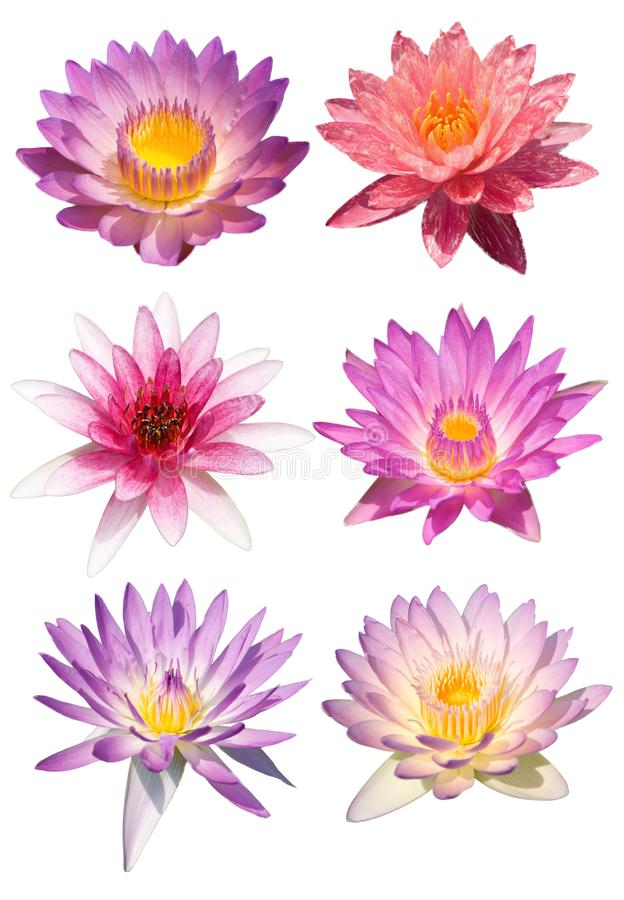 Lotus flower isolate stock images