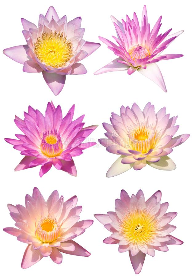 Lotus flower isolate stock photos