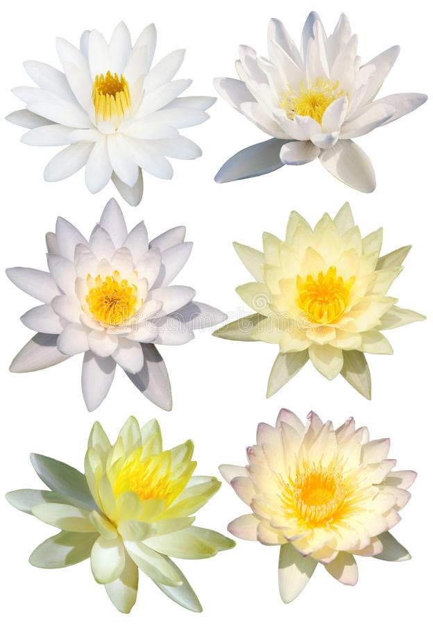 Lotus flower isolate stock image