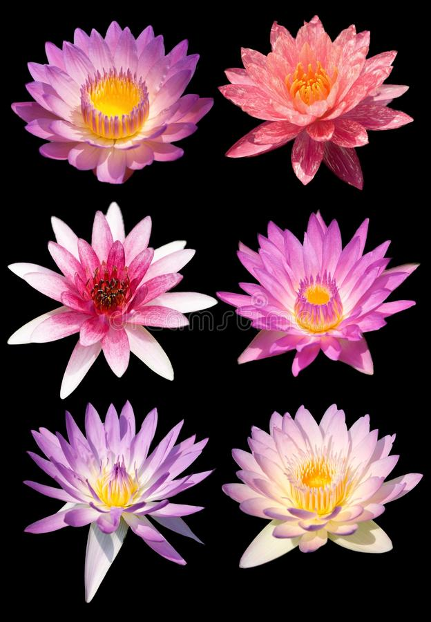 Lotus flower isolate royalty free stock photo
