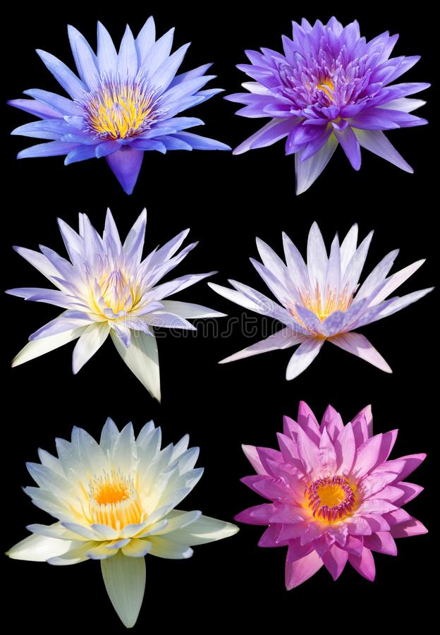 Lotus flower isolate stock photo