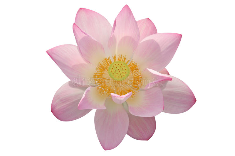 Download Lotus Flower Isolated On White Background Stock Image - Image: 14860971