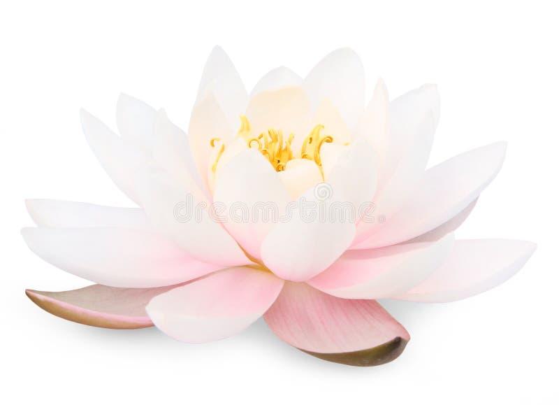 Lotus flower. Isolated on white background