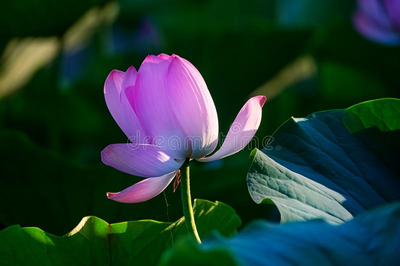 The lotus flower and lotus leaves. The photos was taken in ecological garden of Daqing city Heilongjiang province, China stock photo
