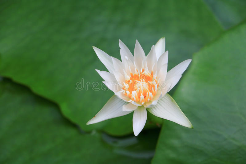Lotus flower and leaves royalty free stock photography