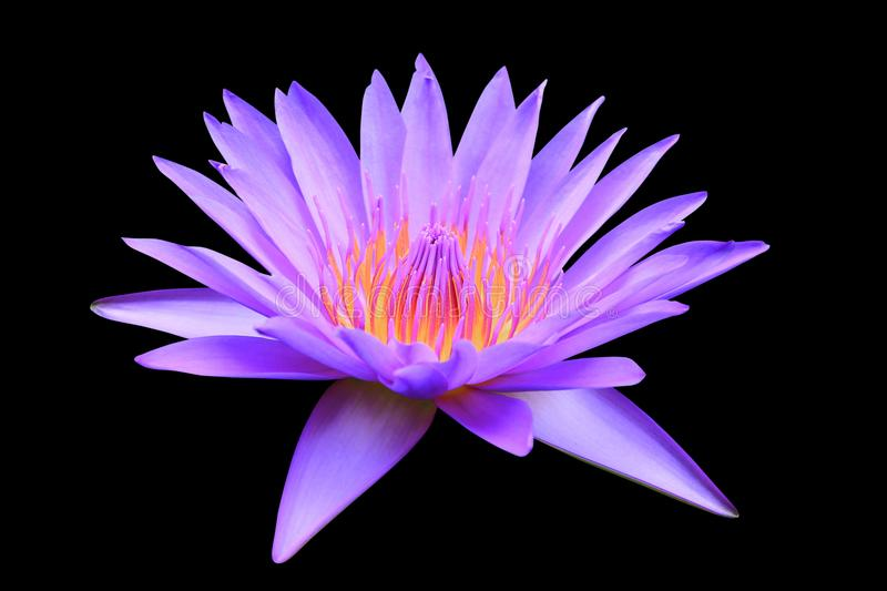 Lotus flower or lilly pink beautiful with clipping path isolated on black background and clipping path royalty free stock photography