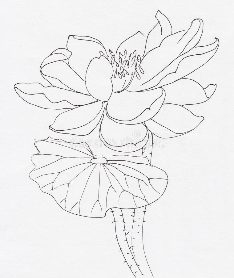 Lotus flower line art. Ink pen drawing. Original style vector illustration